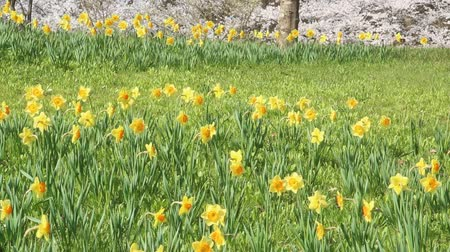 żonkile : Yellow daffodil flowers swaying Wideo