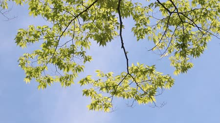 brisa : Japanese zelkova Leaves