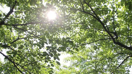 baldachin : Sunlight filtering through the leaves of trees