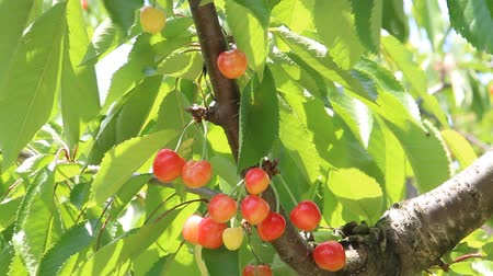 cerejeira : Ripe cherries on cherry tree