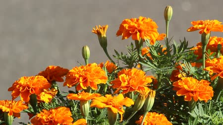 marigolds : Marigold flowers swaying with breeze