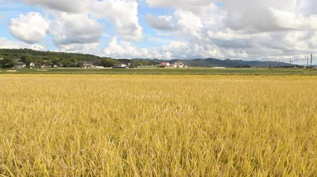 rice grain : Rices are grown in paddy field in Yamagata prefecture, JAPAN