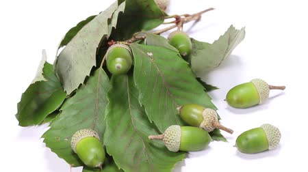 žalud : Acorns and leaves
