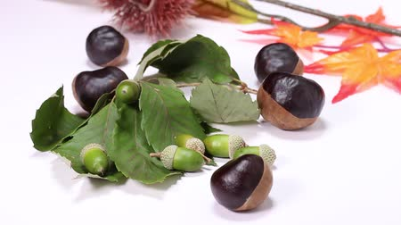meşe palamudu : Acorns and Horse Chestnuts