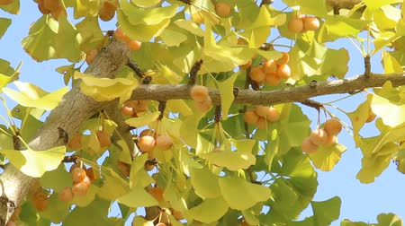 biloba : Ginkgo tree with Ginkgo nuts