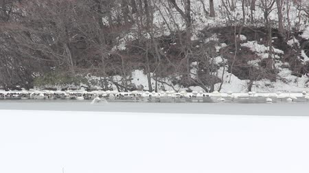 duck pond : Japanese winter landscape, swans flapping Stock Footage