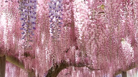 fuji : The wisteria flowers