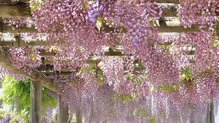 cor de malva : The wisteria flowers