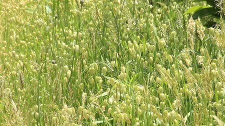 quaking : Greater quaking grass swaying in the wind