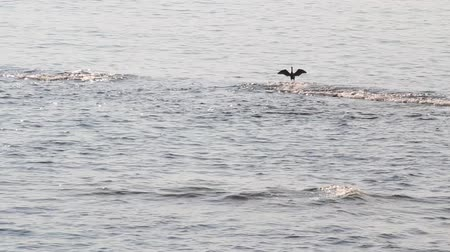 морских птиц : Sea cormorant flying