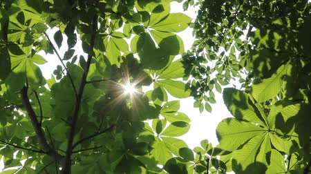 castanha : Sunlight filtering through the leaves of trees