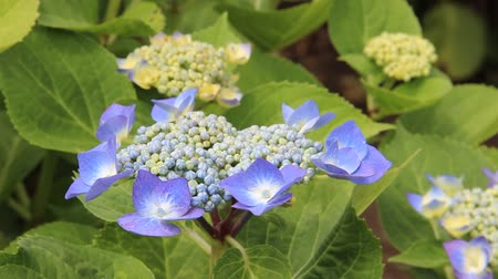 hortênsia : Blue Hydrangeas in Japan Vídeos