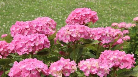 hortênsia : Pink Hydrangeas in Japan