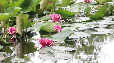 lilyum : Water lily flower
