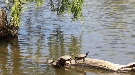 сушка : Turtle drying on the tree Стоковые видеозаписи