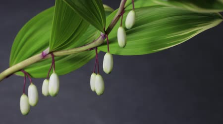 perennials : Polygonatum biflorum