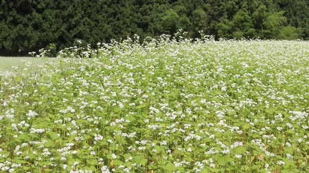 trigo sarraceno : Buckwheat flower on the field in Japan