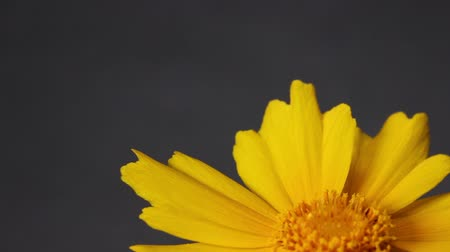 wildflowers : Coreopsis lanceolata flower close up Stock Footage