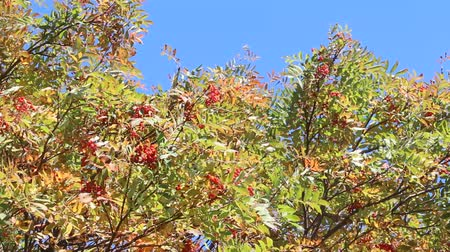 üvez ağacı : The Rowan swaying in the wind