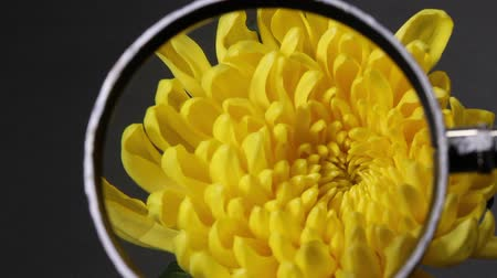 növelni : Yellow Chrysanthemum and Magnifying Glass