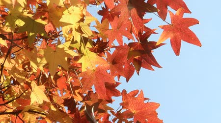 gałąź : Maple leaves in autumn in Japan