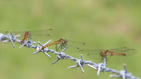 libellula : Barbed Wire and Dragonfly in Japan