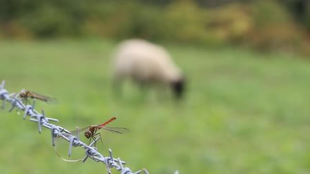 libélula : Barbed Wire and Dragonfly in Japan