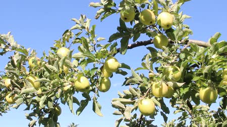 yellowish green : Ripe apples on the tree