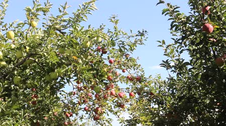 amarelado : Ripe apples on the tree