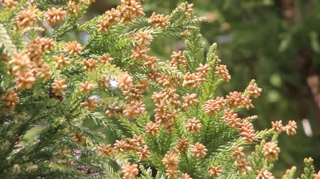 кедр : Japanese cedar flowers that fly pollen in spring Стоковые видеозаписи