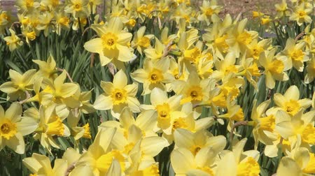 żonkile : Trumpet daffodils swaying in the Breeze
