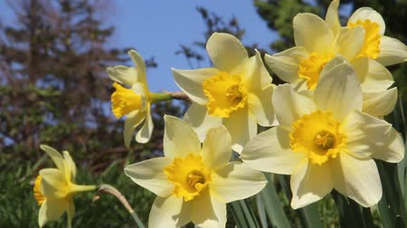 trąbka : Trumpet daffodils swaying in the Breeze