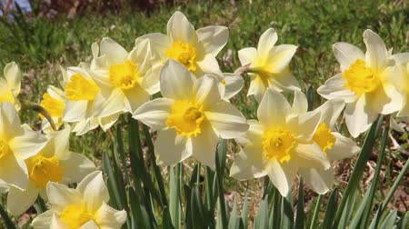 narciso : Trumpet daffodils swaying in the Breeze