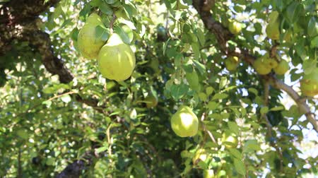 pears : La France on a branch in Japan