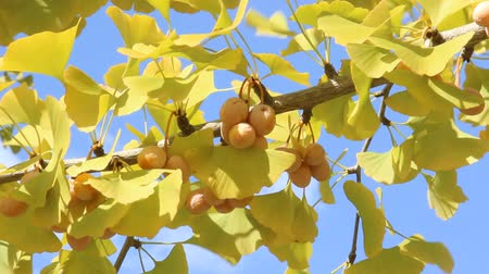 biloba : Gingko nuts and gingko leaves on the tree