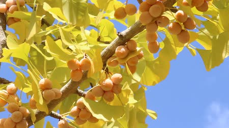 ginkgo leaf : Ginkgo fruits and leaves on branch Stock Footage