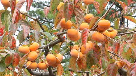prefecture : Persimmon tree with Ripe persimmon fruit in autumn Stock Footage