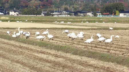 migratory birds : Swans in the Paddy field in autumn , Japan Stock Footage