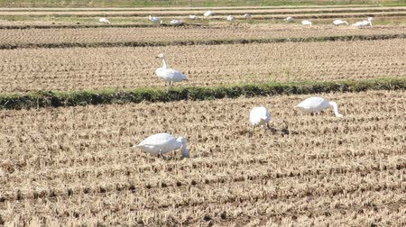 plain : Swans in the Paddy field in autumn , Japan Stock Footage
