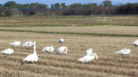 stěhovavý : Swans in the Paddy field in autumn , Japan Dostupné videozáznamy