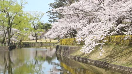 kerts : Cherry Blossoms in Tsuruoka Park, Yamagata-Bezinning Japan Stockvideo