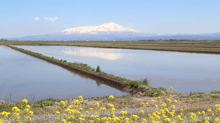 Mt. Chokai and rape blossoms, Yamagata prefecture Japan