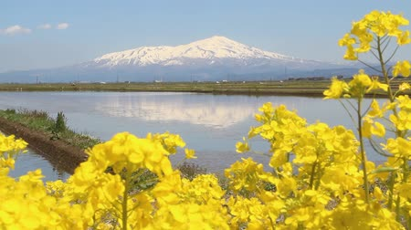 superfície da água : Mt. Chokai and rape blossoms, Yamagata prefecture Japan