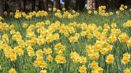 trumpet : A lot of  Trumpet daffodils Stock Footage