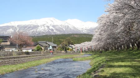 Cherry trees of Nakayama River Park and Mt.Chokai, Yamagata prefecture Japan