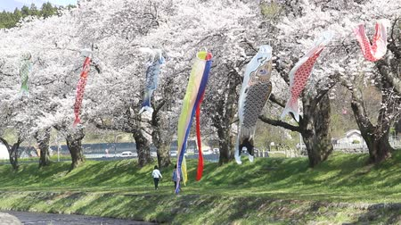Cherry trees and carp streamers in Japan