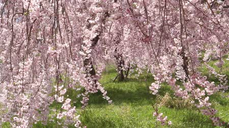 The weeping cherry tree swaying in the wind