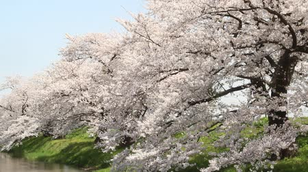 Cherry trees along the river in Japan