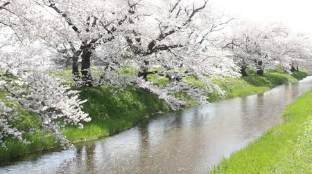Cherry blossoms and petals flowing through the river