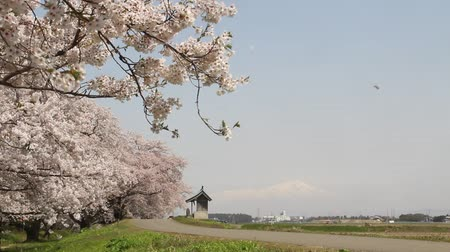 lined : Cherry trees and Mt.Chokai, Yamagata prefecture Japan